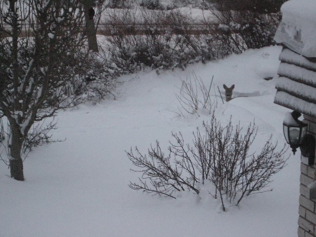 Utsikt från sovrumsfönstret i morse. Ett rådjur låg i trädgårdslandet!